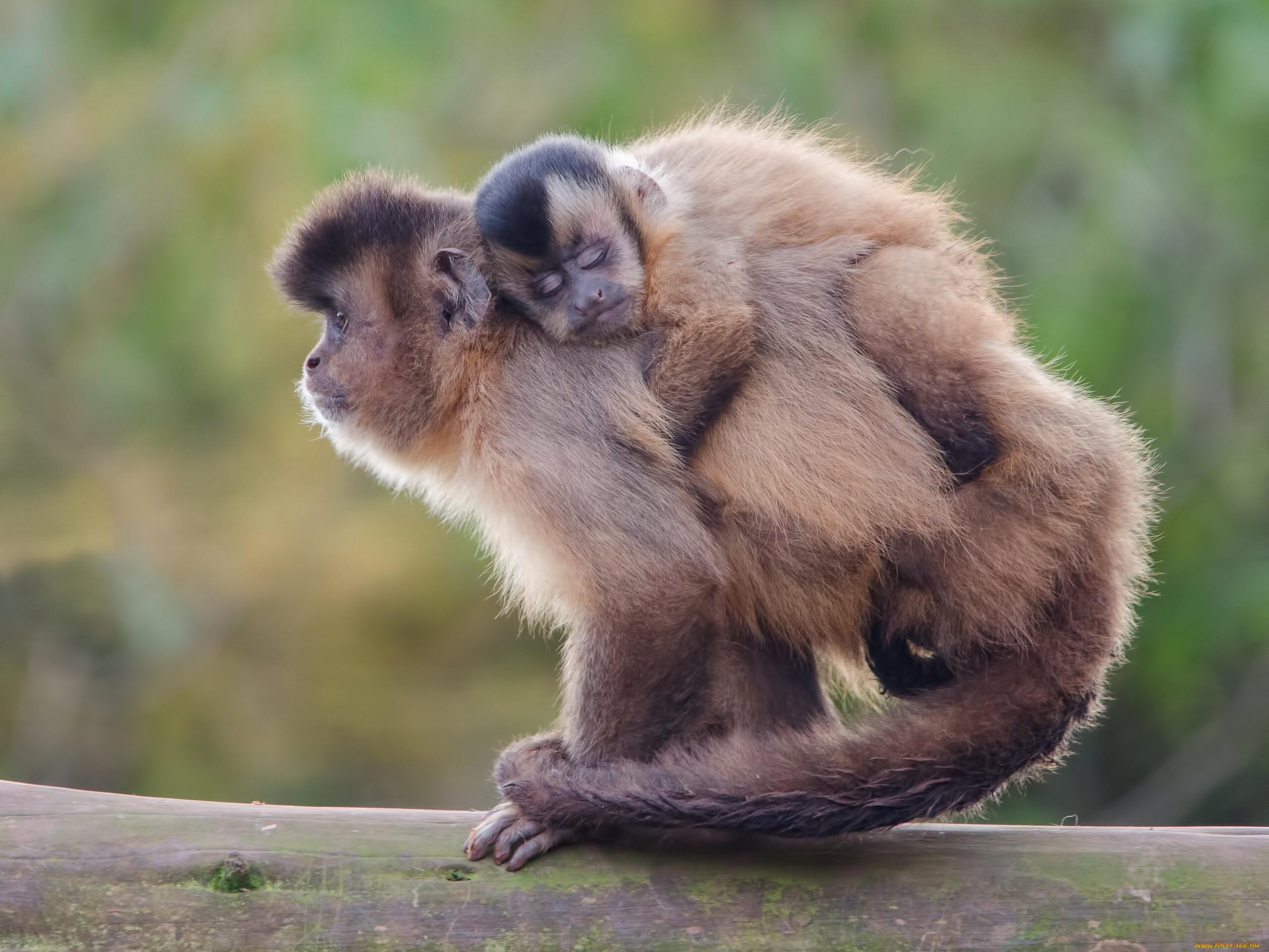 геннадьевна картинки обезьяны и детеныша взрослого заключается